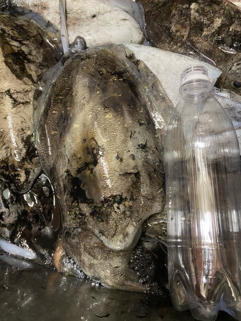 スミイカ大きさ比較のペットボトル